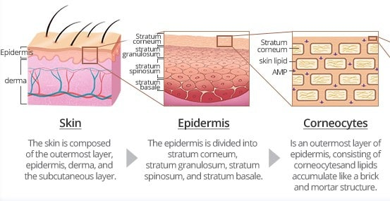 3 images: image of skin, epidermis and skin cells packed together like a brick wall